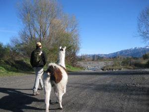 llama back